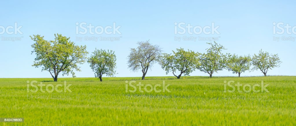 fruit trees in a row stock photo