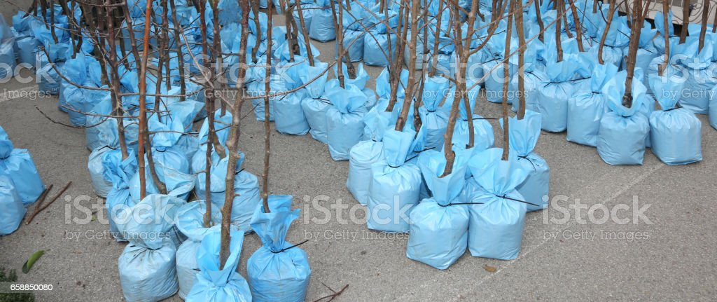 fruit trees with roots wrapped to protect them for sale in the s stock photo