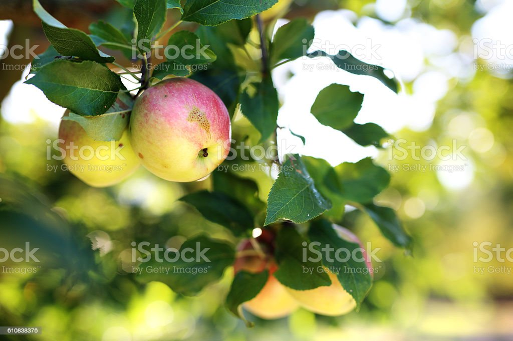 Fruiting apple tree. stock photo