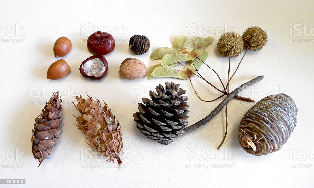 fruits, cones and seeds of deciduous an conifere trees stock photo