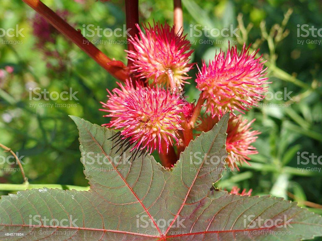 Fruits of a Ricinus - very poisonous plant (Ricinus communis) stock photo
