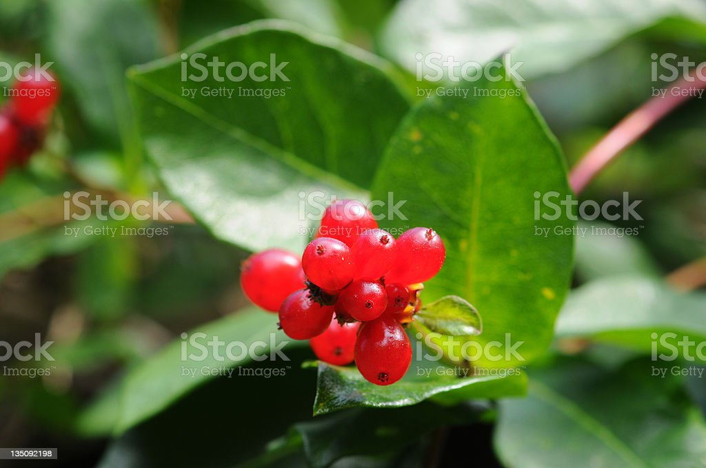 Fruits of Honeysuckle (Temperate Flower) stock photo