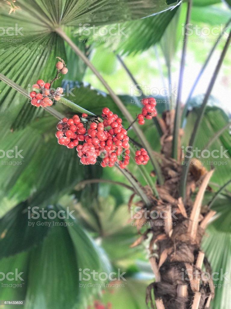 Fruits of Licuala grandis or Vanuatu fan palm. stock photo