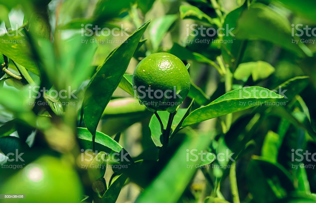fruits of lime on tree branch inter leaves stock photo - Kaffir Lime Tree