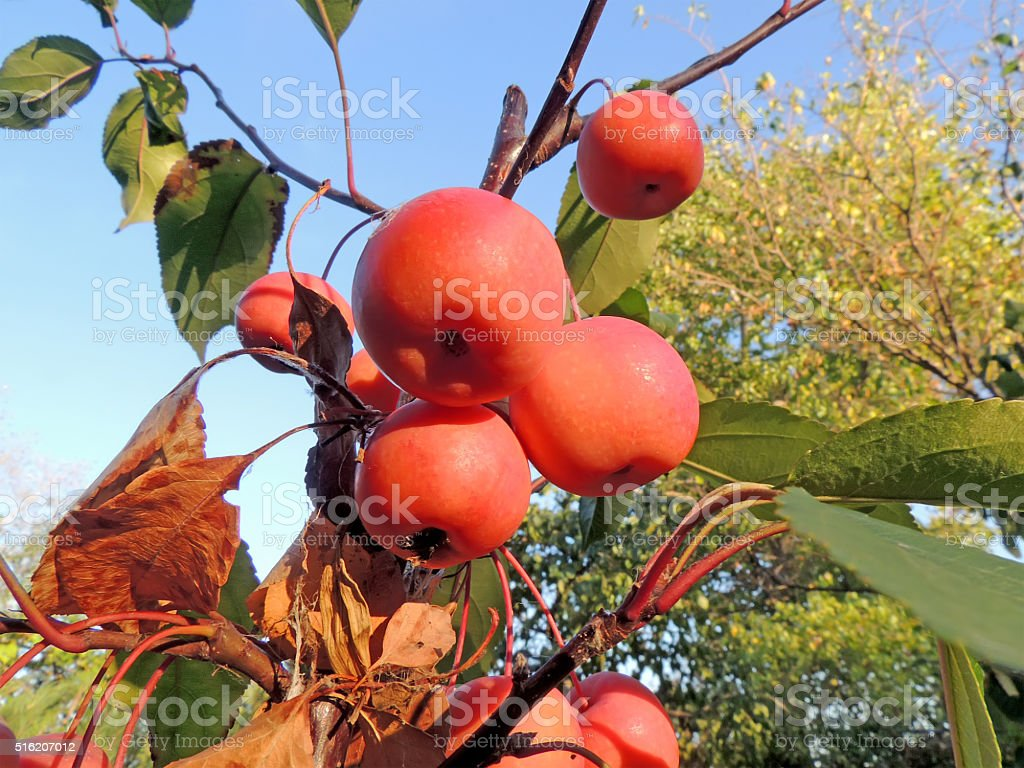 Fruits of plumleaf crab apple stock photo