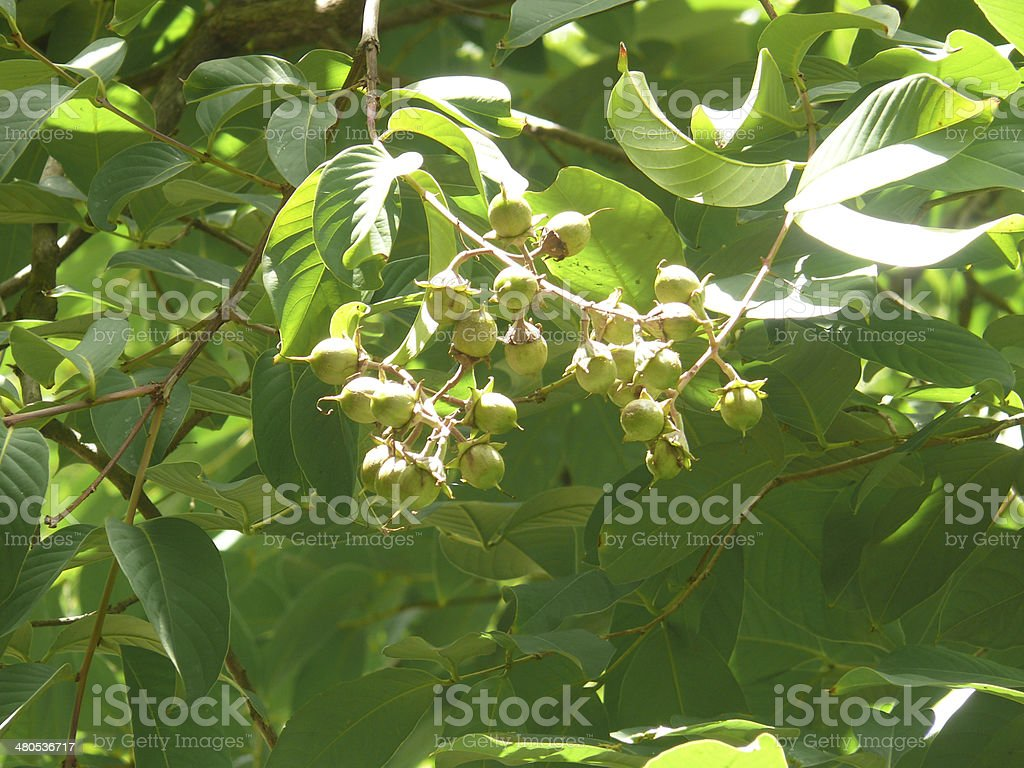 Fruits of Pride of India, Queen Crape Myrtle, Lagerstroemia speciosa stock photo
