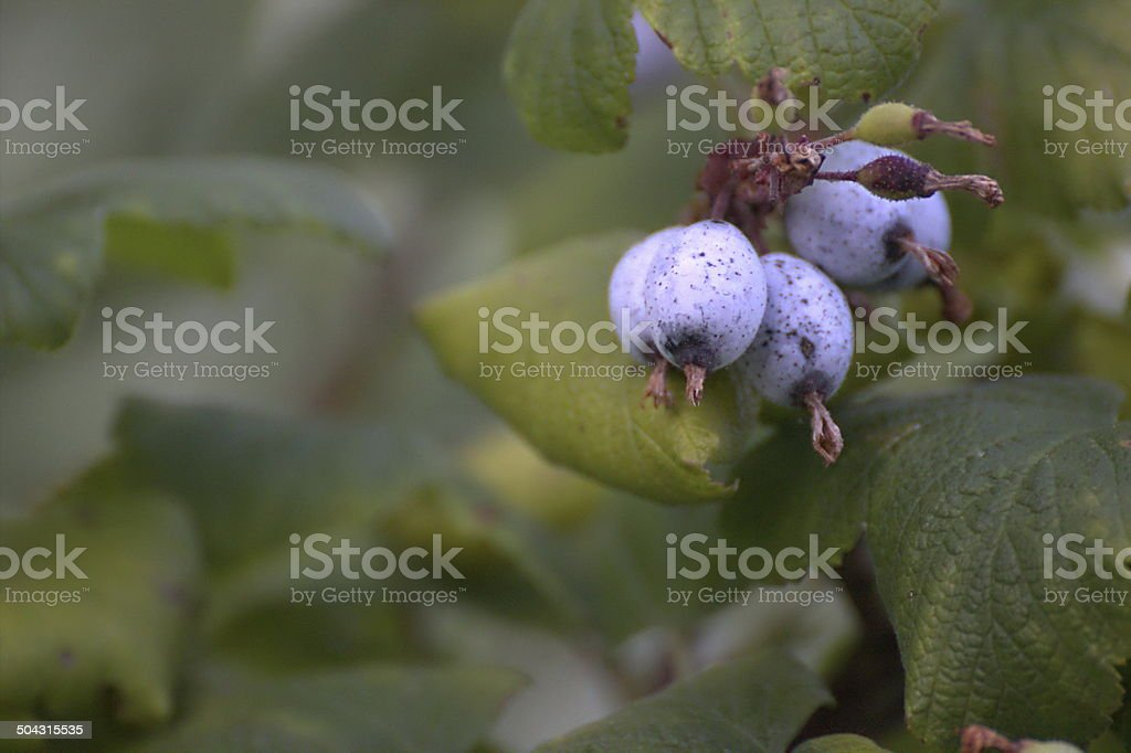 Fruits Of Red-Flowering Currant stock photo