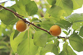 fruits of ripe apricots on the tree