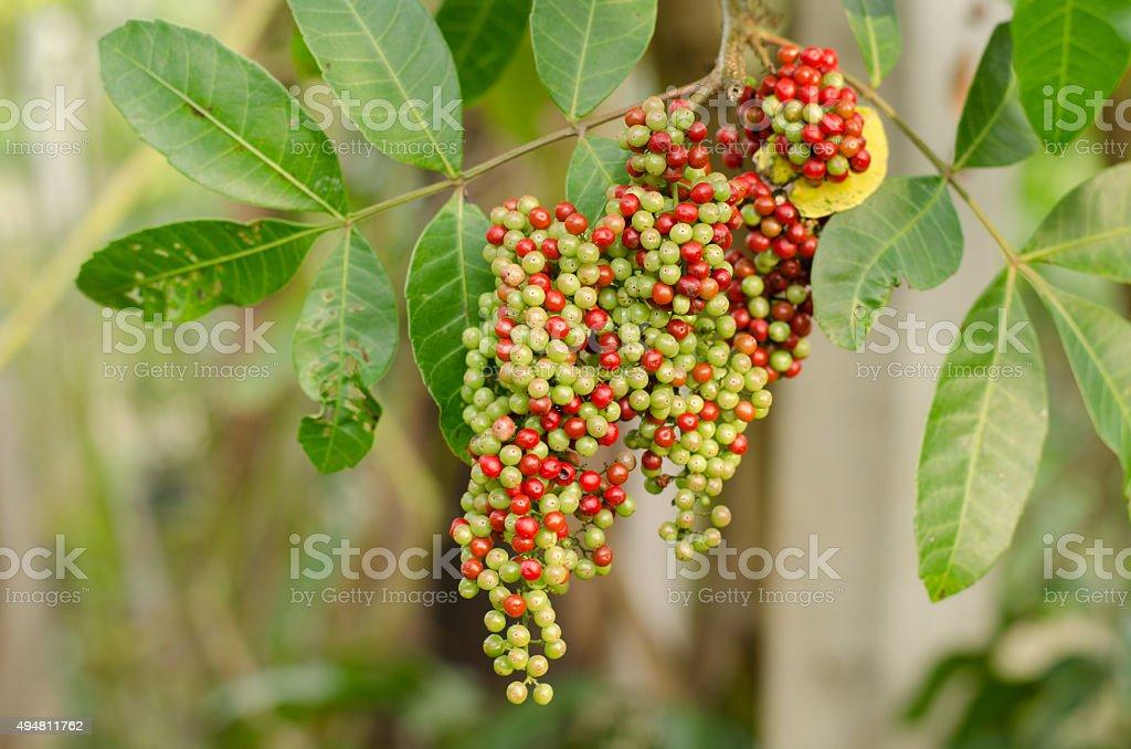 Fruits (berry) of Schinus terebinthifolius, Brazilian Pepper-tre stock photo