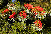 fruits of  spruce