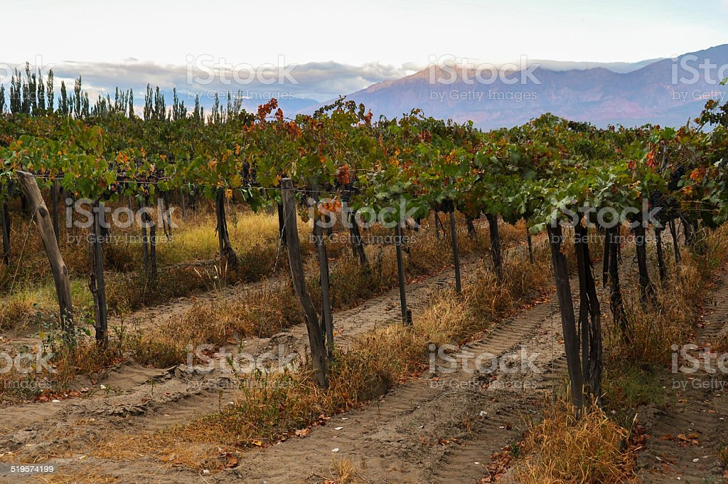 Fruity Wineyards of Cafayate in North Argentina stock photo