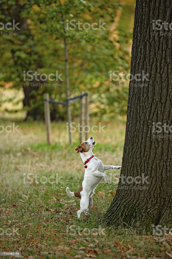 Frustrated Parson Jack Russell terrier barking up the wrong tree? stock photo
