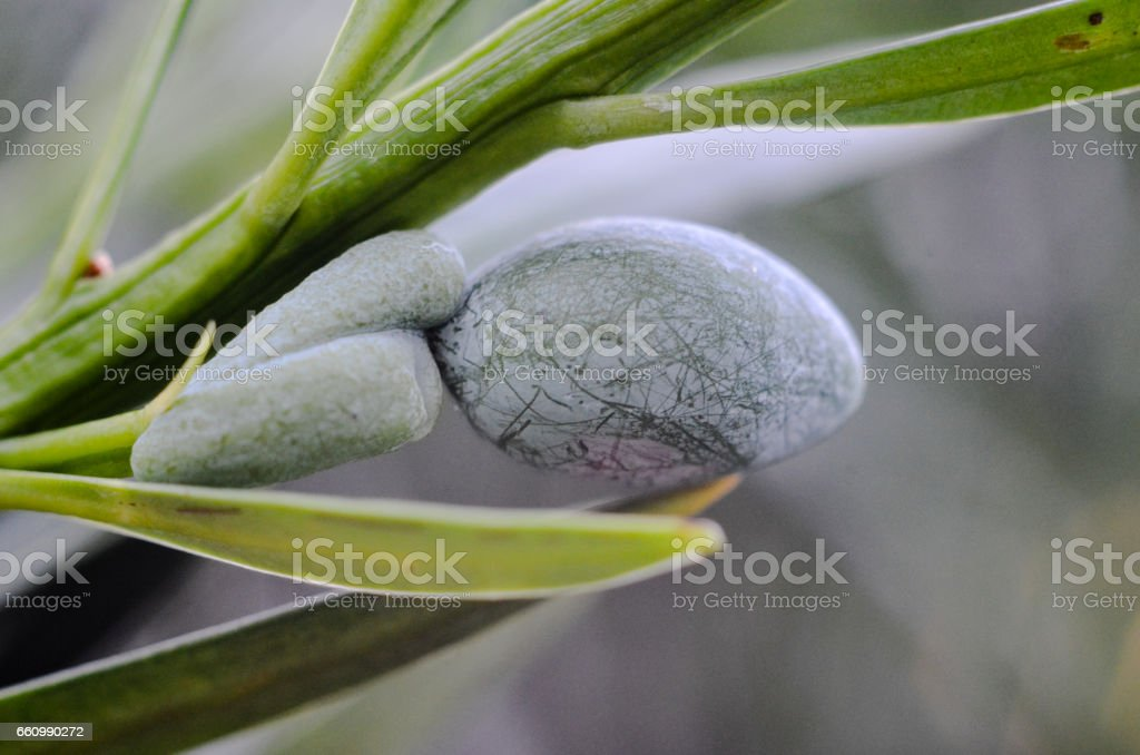 fruto de podocarpus stock photo