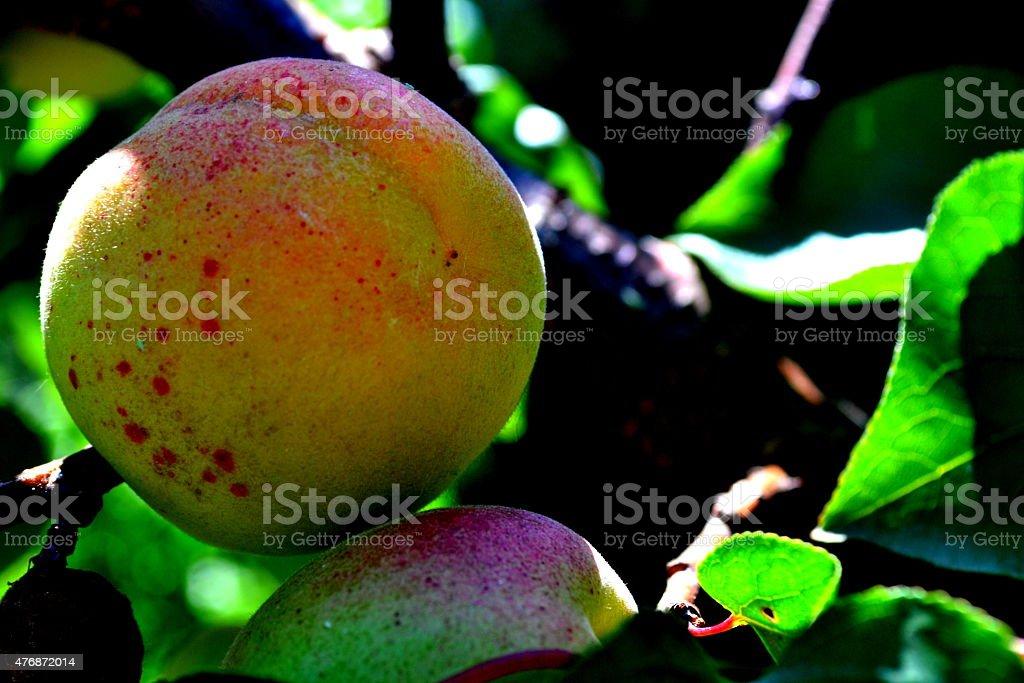 Frutta sull'albero stock photo
