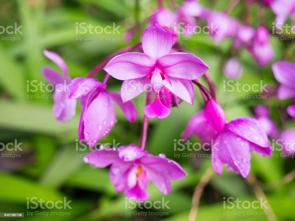 Fuchsia flower in full bloom showing its bright purple color. stock photo