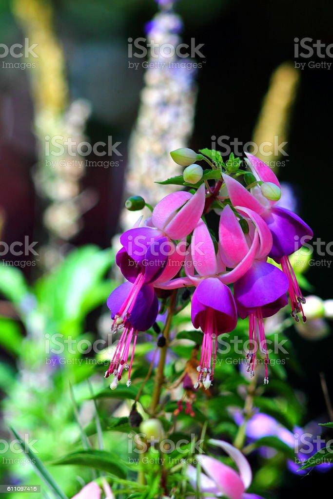 Fuchsia flowers in flowerbed stock photo