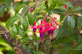Fuchsia flowers in pink and purple in the garden