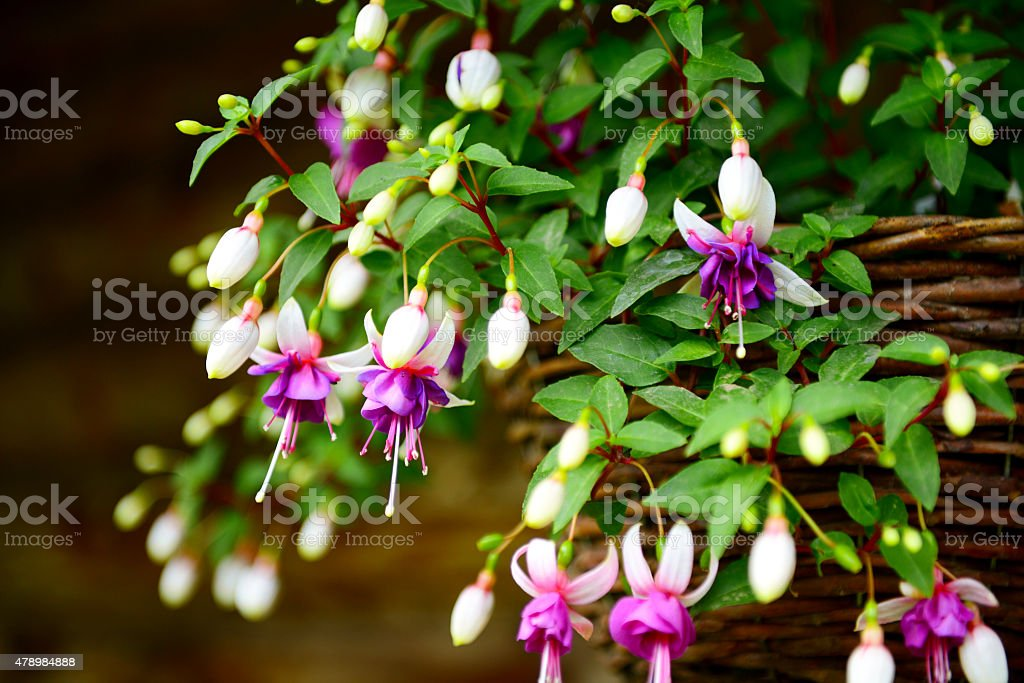 fuchsia flowers in the garden, hanging in a basket stock photo