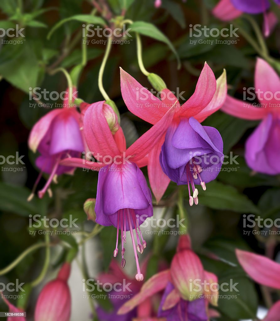 Fuchsia Flowers royalty-free stock photo