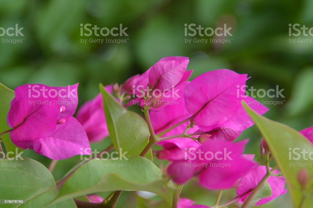 Fuchsia flowers stock photo