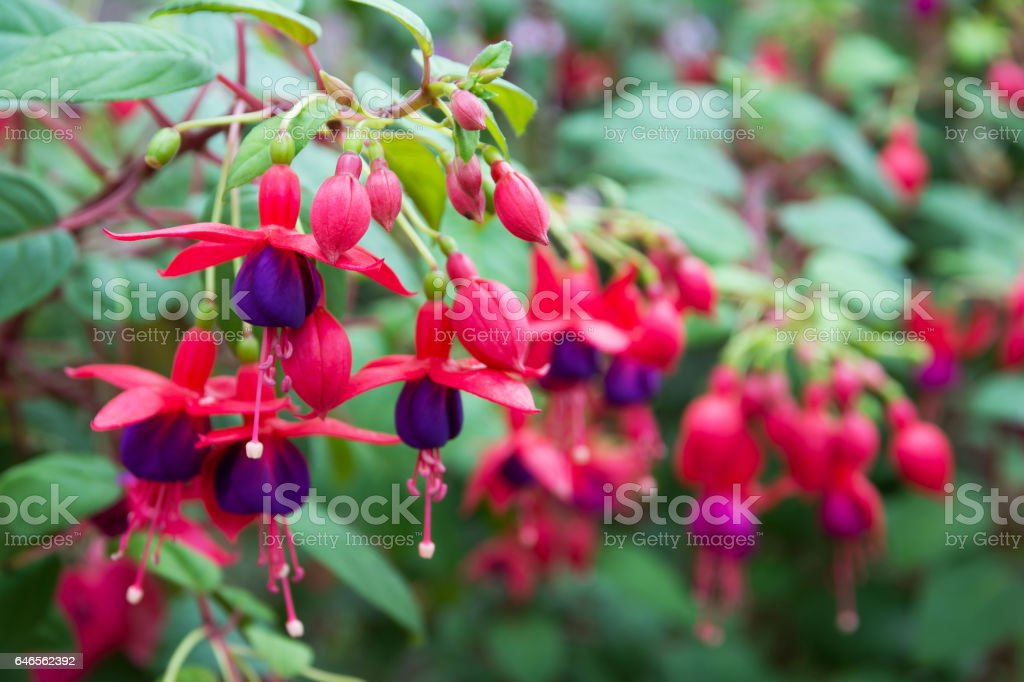 Fuchsia flowers.Beautiful fuchsia flowers in the garden stock photo