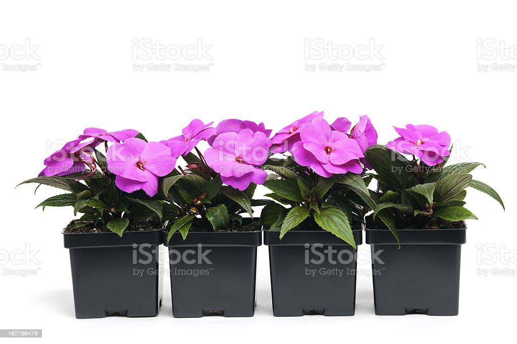 Fuchsia New Guinea Impatiens in Retail Plastic Containers, White Background stock photo