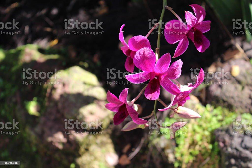 Fuchsia Orchids stock photo