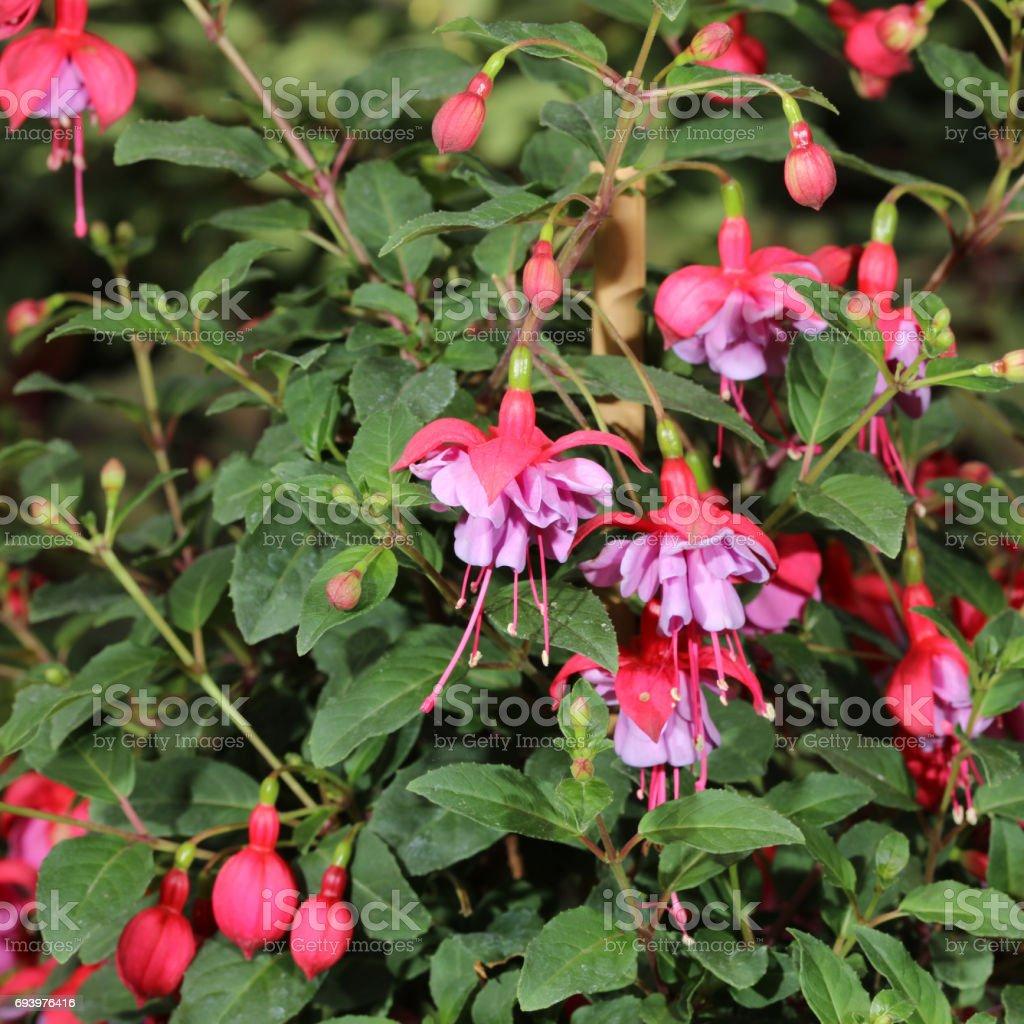 Fuchsia (Fuchsia hybrida) stock photo