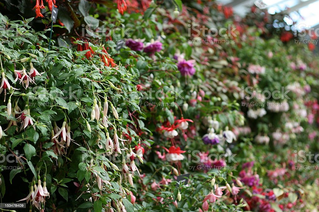 Fuchsia Plants royalty-free stock photo
