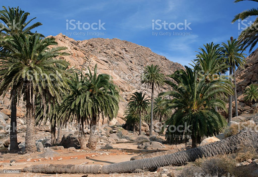 Fuerteventura - Palm trees in the Barranco de las Penitas royalty-free stock photo