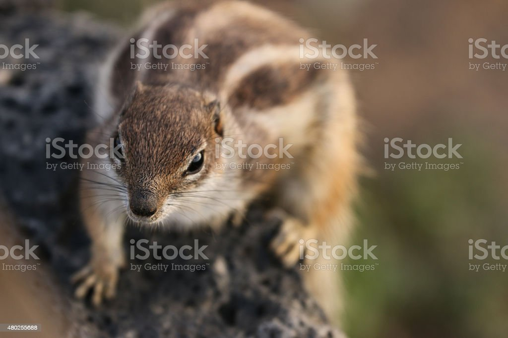Fuerteventura squirrel royalty-free stock photo