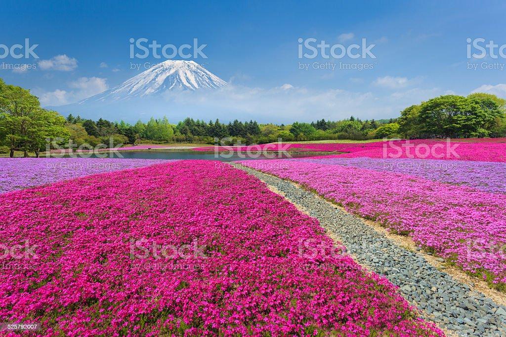 Fuji with Pink Moss or Shibazakura stock photo