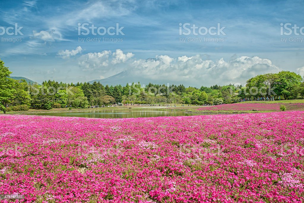Fuji with the field of pink moss at Shibazakura , Japan stock photo