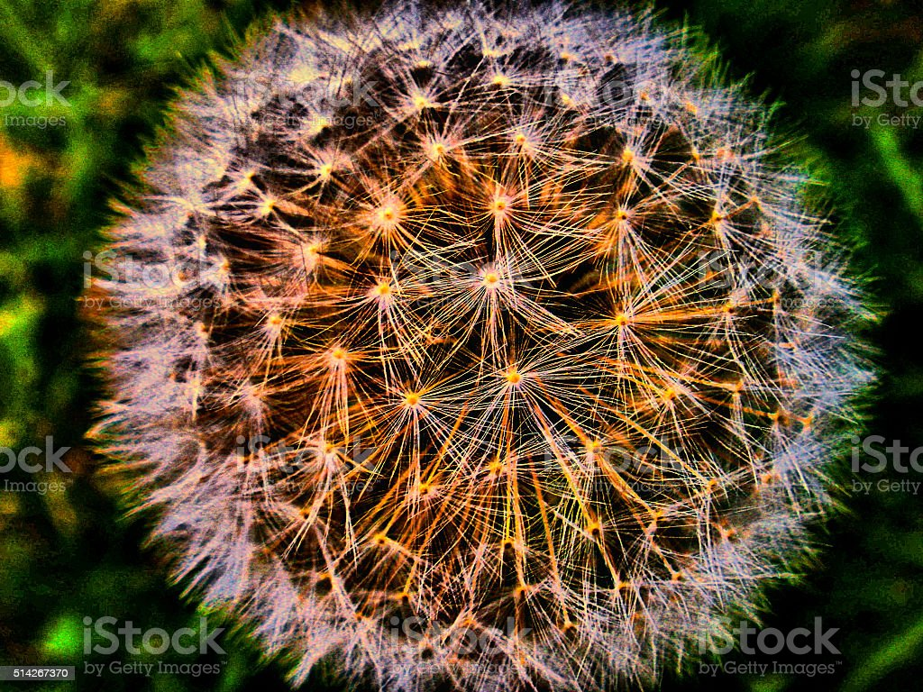 Full Bloom / Big Bang stock photo