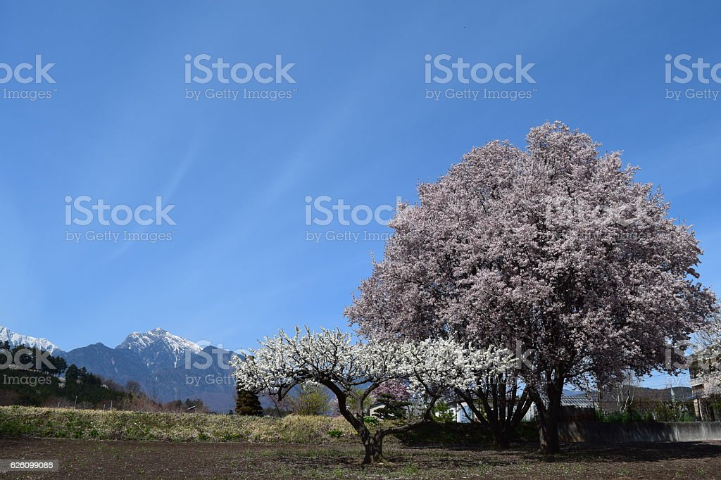 Full Bloom Cherry Blossoms stock photo