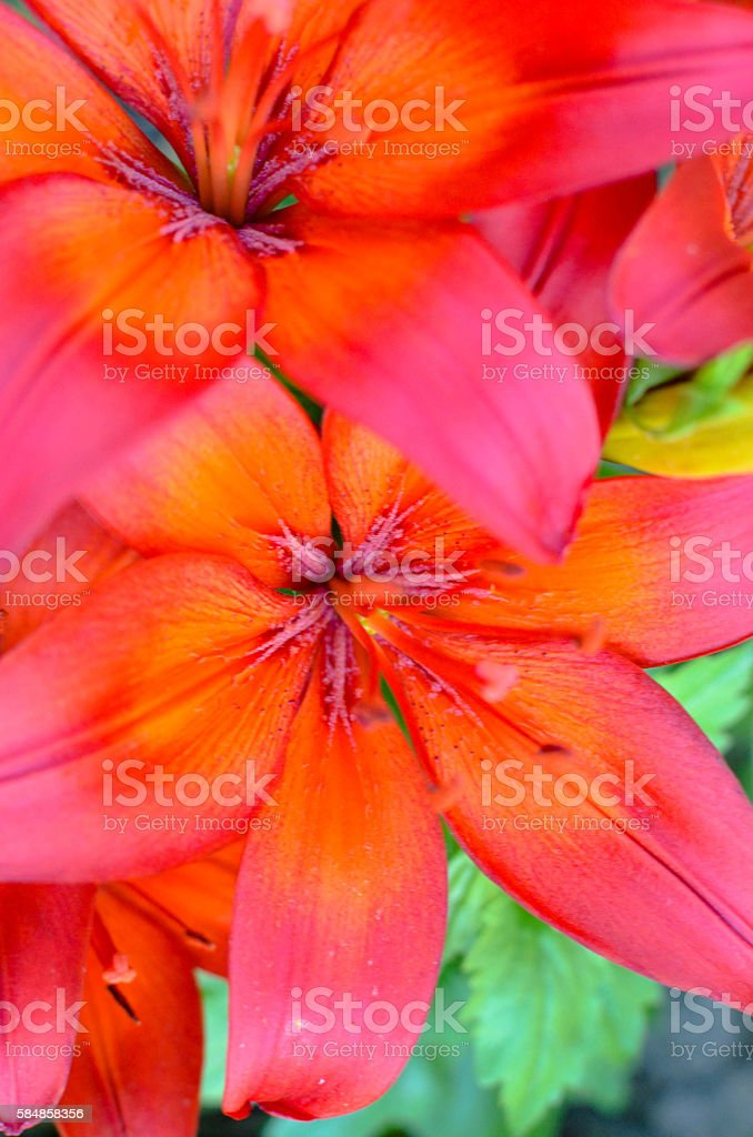 Full blooming of deep red lily in flower garden stock photo