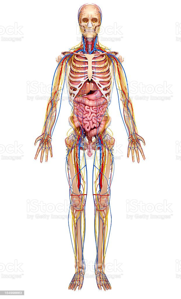 full body circulatory an nervous system royalty-free stock photo