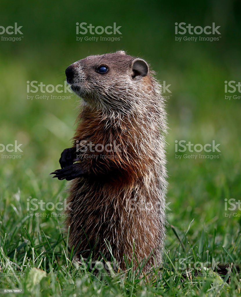 full body closeup of groundhog sitting up and looking left stock