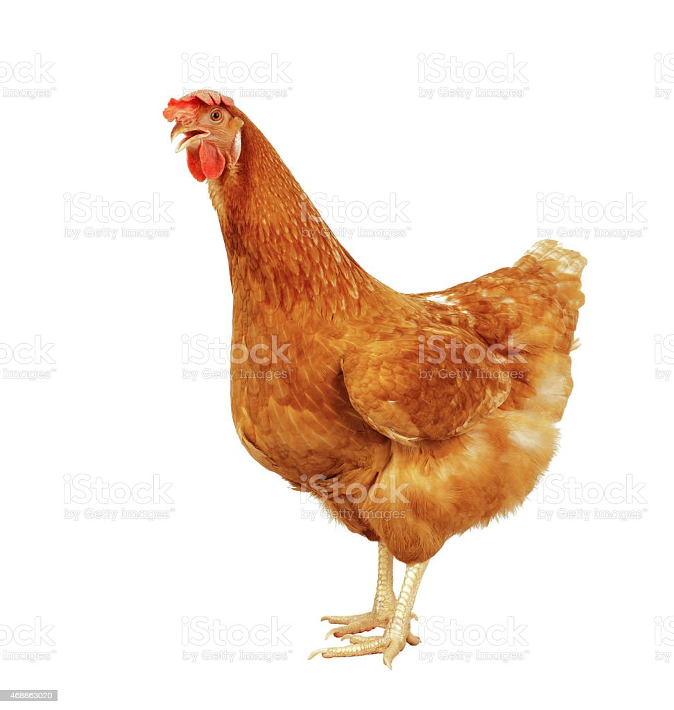 full body of brown chicken stock photo