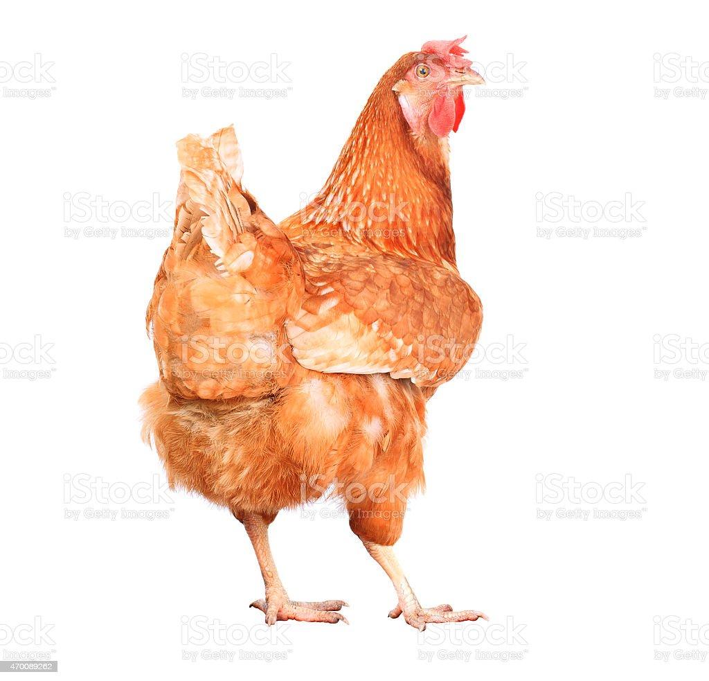 full body of chicken hen livestock isolated white background stock photo