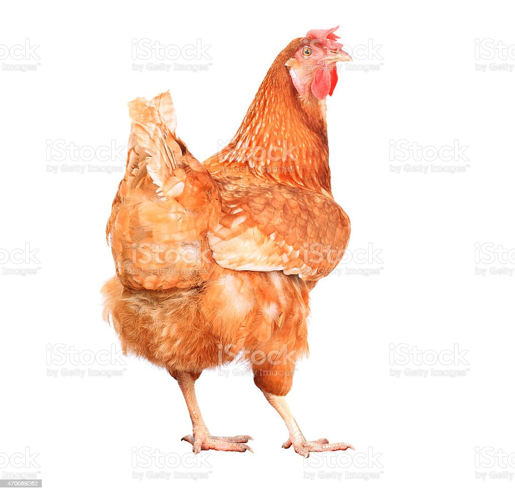 full body of chicken hen livestock isolated white background stock photo