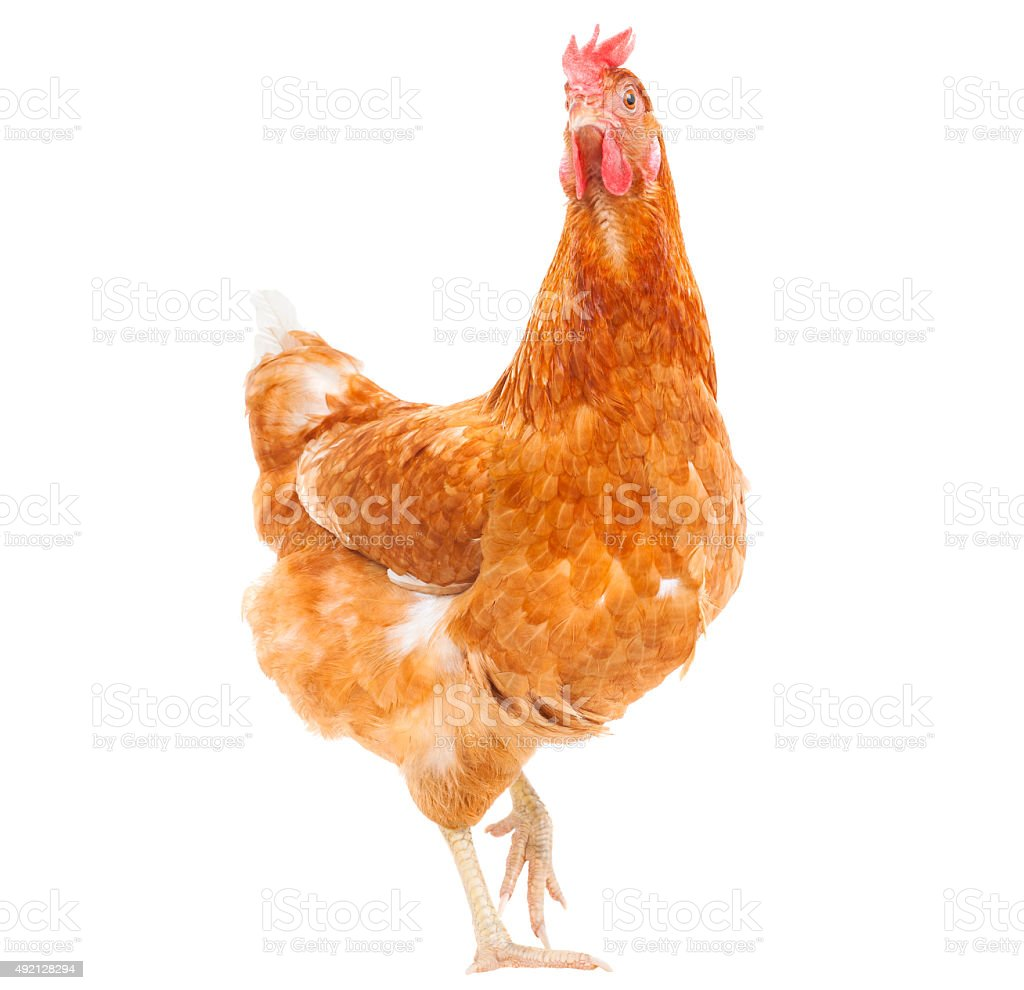 full body of chicken livestock isolated white stock photo