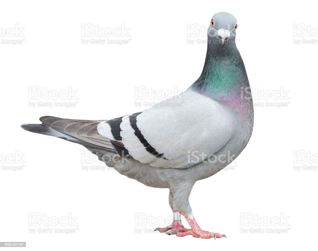 full body of speed racing pigeon bird isolate white background stock photo