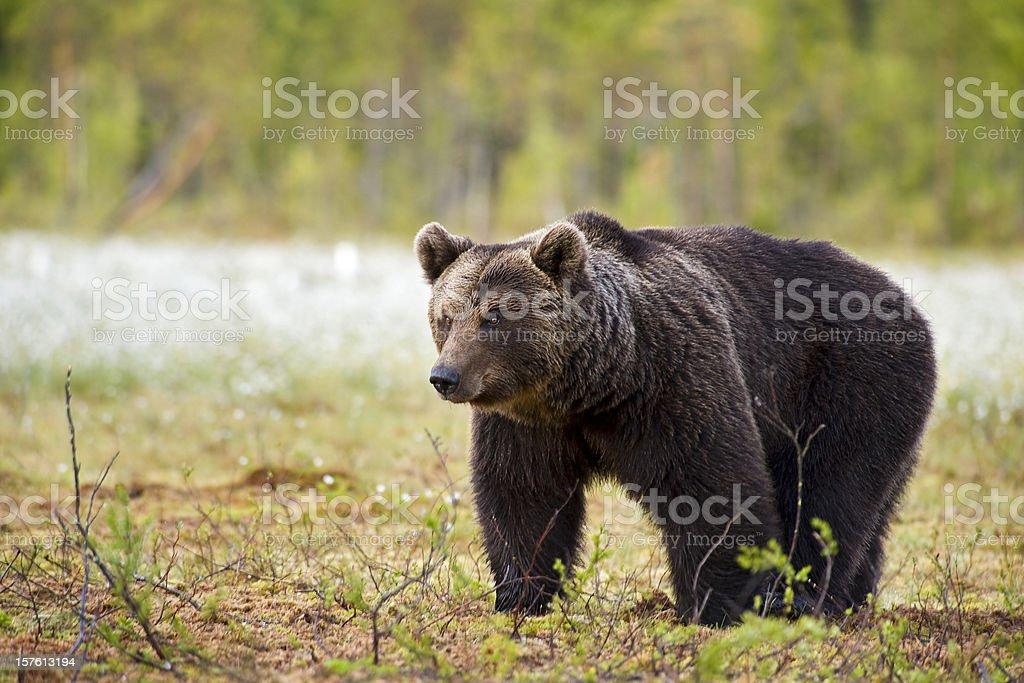 Full body shot of a Brown Bear, wildlife-shot royalty-free stock photo
