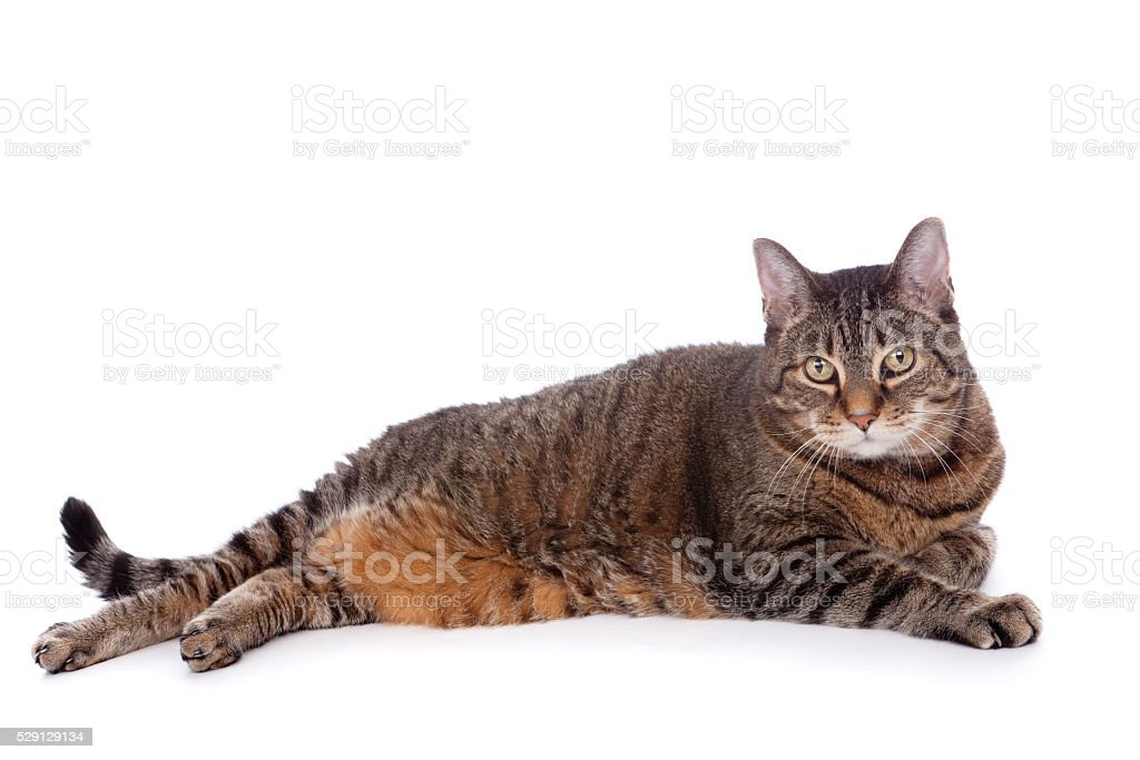 Full Body Tabby Cat Isolated On White stock photo