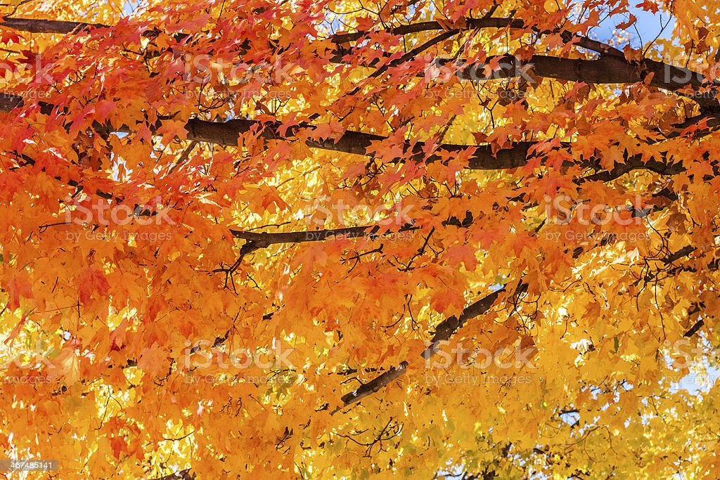 Full branches of a maple tree in autumn in tones of orange royalty-free stock photo