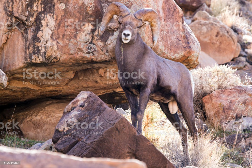 Full Curl Big Horn Sheep in Green River Utah stock photo