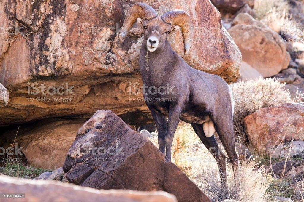Full Curl Big Horn Sheep in Green River Utah stock photo