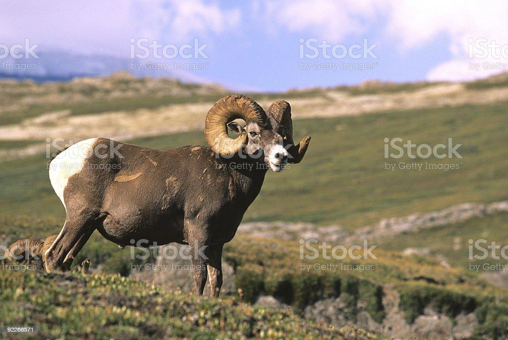 Full Curl Bighorn stock photo