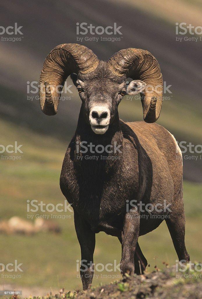 Full Curl Bighorn Ram stock photo